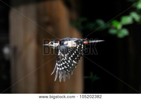 Flying Great Spotted Woodpecker