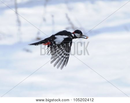 Winter Woodpecker Flight With A Seed