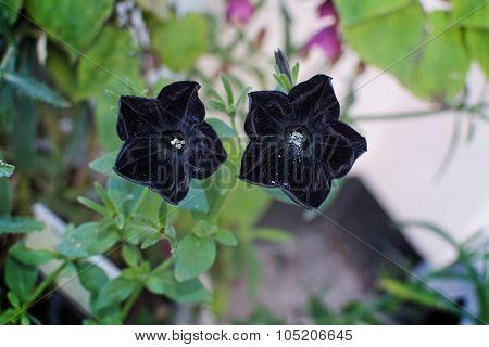 Black Petunia Flowers