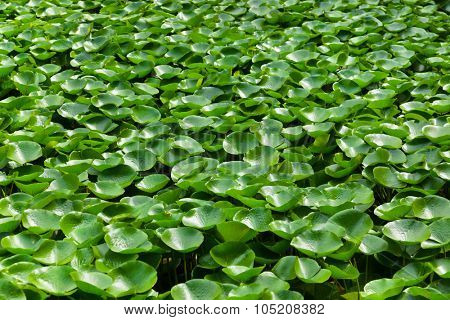 Leaves of the waterlily on water surface - nature background