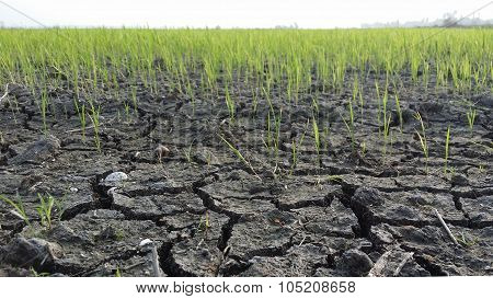 Cracked soil in a dried paddy field