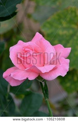 Rose hope
