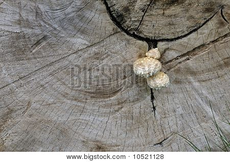 Mushrooms On A Cut Of A Wood Trunk