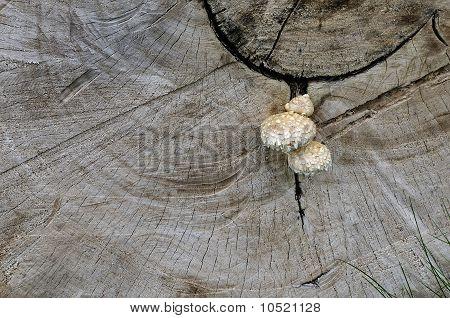 Mushrooms On A Cut Of A Wood Trunk