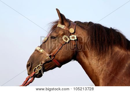 Head Shot Of A Thoroughbred Stallion In The Summer Corral Against Blue Sky