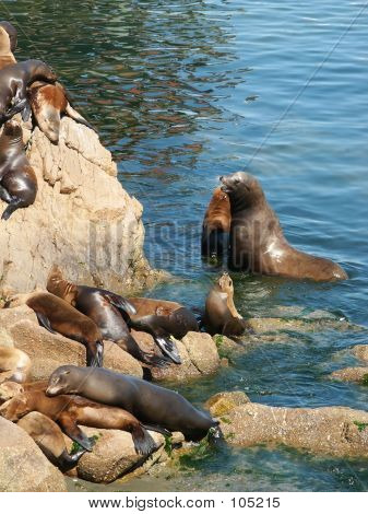 Sealions In The Monterey Harbor