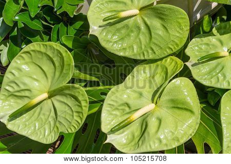 Green Anthurium Tropical Flower