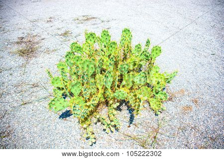 Prickly Pears Plant