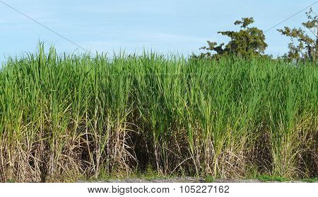 Sugar Cane Field Port Myaca Florida