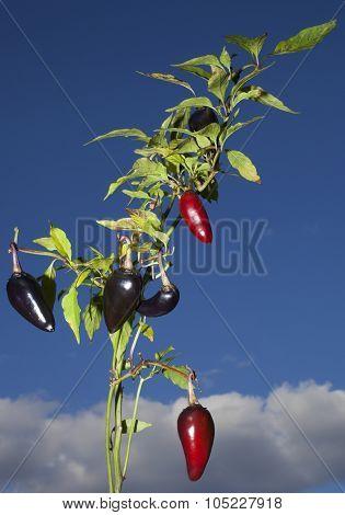 Purple Jalapeno Plant