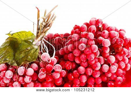 Guelder-rose The Plate, Frozen For Long Term Storage, White Background