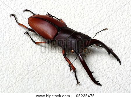 Stag beetle isolated on background