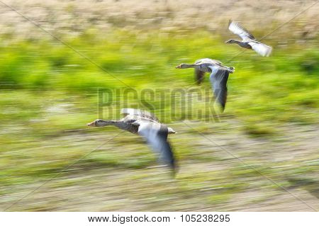 Greylag Goose Flock In Flying Motion