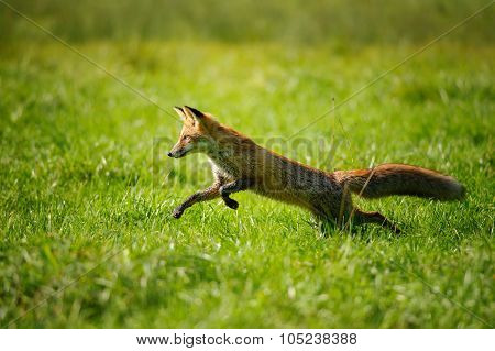 Red Fox Jumping And Runing In Green Grass