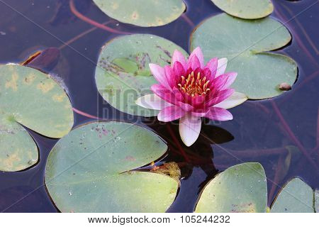 Lily Pads and Pink Water Lily Flower