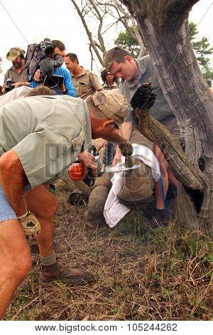Series 3 Of 6: Dehorning Of Rhino Calf After Been Darted And Stabilized
