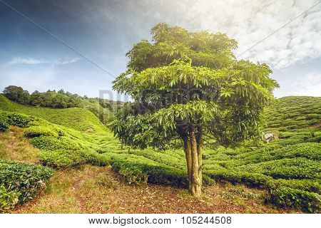 Big tree on tea plantation in the Cameron Highlands, Malaysia