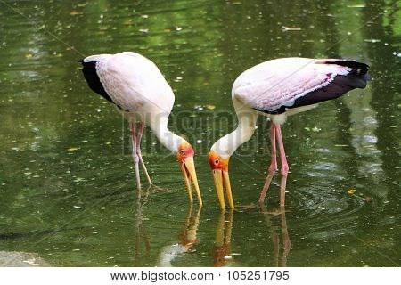 Two African Yellow Billed Feeding At The Lake