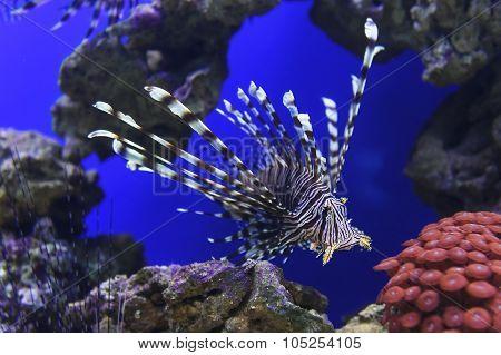 Lionfish underwater