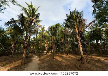 Coco-palm Tree Forrest, Bali, Nusa Penida, Indonesia