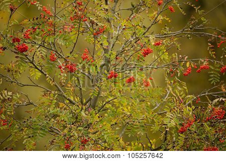 Tree Of Rowan Berries (sorbus Aucuparia)