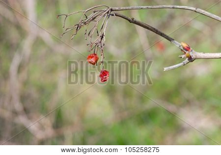 Branch of viburnum with dried fruits at spring season