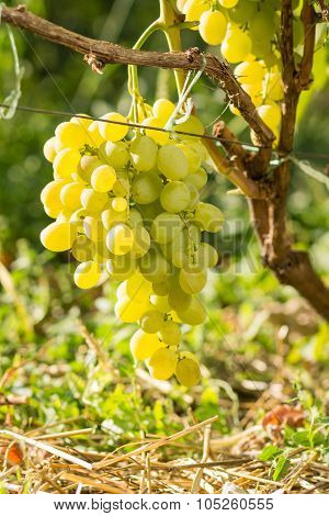 Cluster Of White Table Grape On Vine