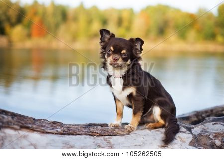 brown chihuahua dog sitting on a tree branch