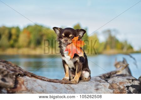 funny chihuahua dog holding a fallen leaf