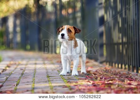 adorable jack russell terrier dog standing outdoors in autumn