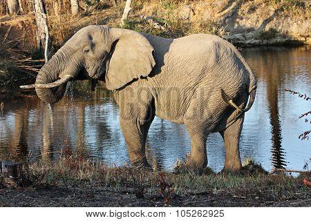 Elephant At A Waterhole