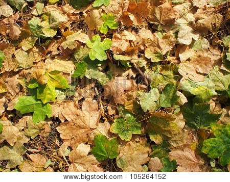 Top View Of Fallen Autumn Leaves Closeup