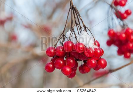 Red Berries Of A Guelder-rose Covered With Snow