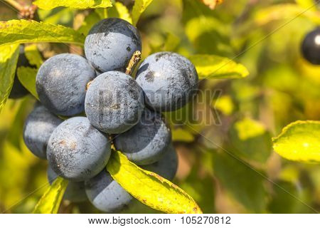 Close Up Of Ripe Wild Sloes In An English Hedgerow