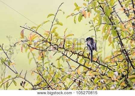 Single Long Tailed Tit (aegithalos Caudatus) Perching In A Black Thorn Tree