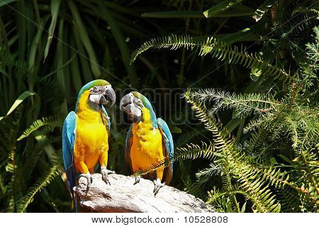 Couple Of Yellow Chest Macaw