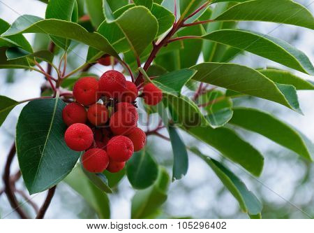 Cyprus Strawberry Tree