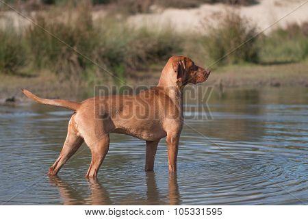 Dog, Vizsla, Hungarian Pointer, Standing In Water