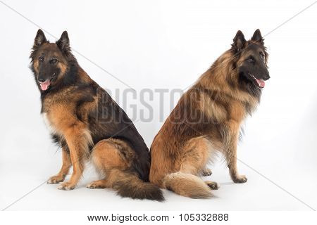 Two Dogs, Isolated On White Studio Background