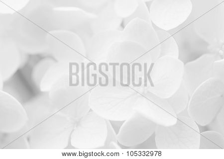 Hydrangea, Hortensia, Blurred For Background Or Template