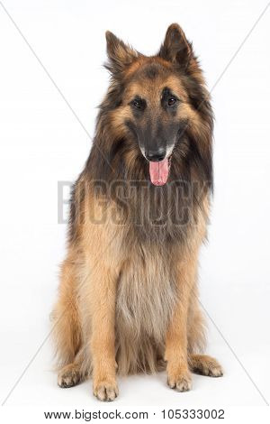 Belgian Shepherd Tervuren Dog Sitting