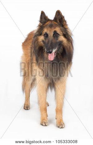 Belgian Shepherd Tervuren Dog Standing