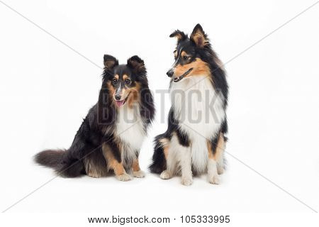 Two Shetland Sheepdogs Sitting, Isolated