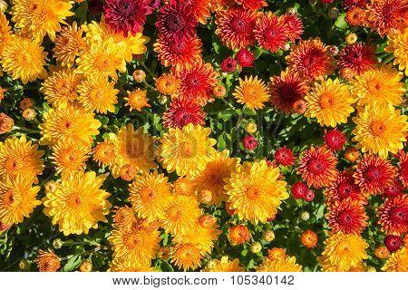 Autumn Mums Or Chrysanthemums Flower Background