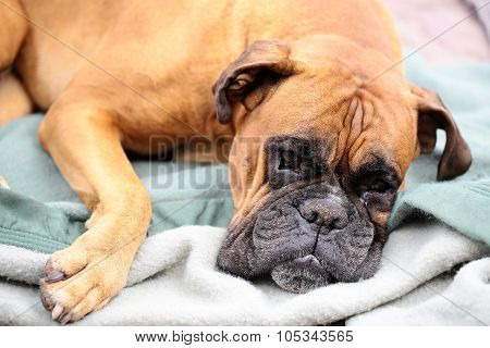Cute Boxer Lying On Blanket