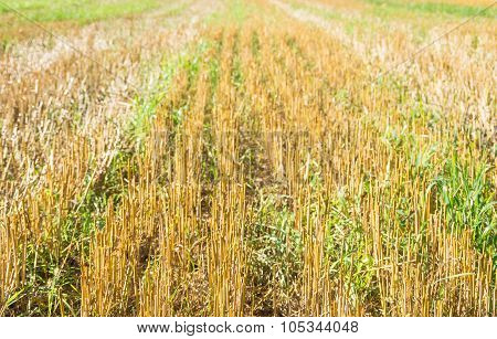 Stubble Wheat Background