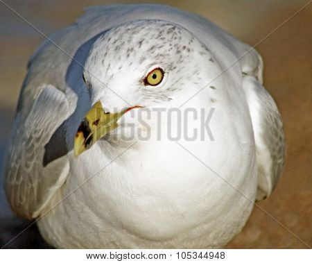 Close up of the Ring Billed Seagull with its distinctive beak and yellow eyes