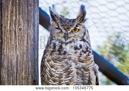Great Horned Owl Winking