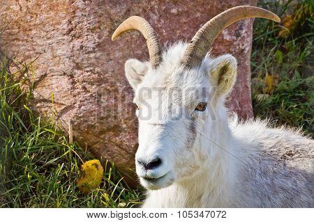 Mountain Goat Looking Forward