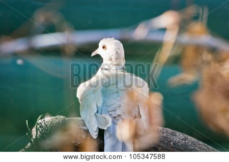 Ring-necked Dove Streches It's Neck